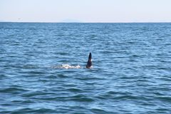 The dorsal fin of a killer whale is visible above the waters of the Pacific Ocean near the Kamchatka Peninsula, Russia. The killer whale or orca Orcinus orca is stock image