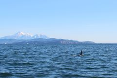 The dorsal fin of a killer whale is visible above the waters of the Pacific Ocean near the Kamchatka Peninsula, Russia. Avachinsky. The killer whale or orca royalty free stock photos