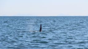 The dorsal fin of a killer whale is visible above the waters of the Pacific Ocean near the Kamchatka Peninsula, Russia. The killer whale or orca Orcinus orca is royalty free stock photography