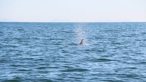 The dorsal fin of a killer whale is visible above the waters of the Pacific Ocean near the Kamchatka Peninsula, Russia. The killer whale or orca Orcinus orca is royalty free stock images