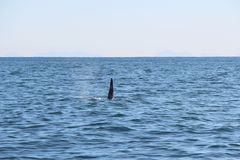The dorsal fin of a killer whale is visible above the waters of the Pacific Ocean near the Kamchatka Peninsula, Russia. royalty free stock photography