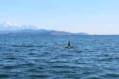 The dorsal fin of a killer whale is visible above the waters of the Pacific Ocean near the Kamchatka Peninsula, Russia. Avachinsky. The killer whale or orca royalty free stock photo