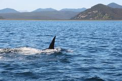The dorsal fin of a killer whale is visible above the waters of the Pacific Ocean near the Kamchatka Peninsula, Russia. The killer whale or orca Orcinus orca is royalty free stock image