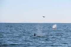 A pair of killer whale dorsal fins are visible above the waters of the Pacific Ocean near the Kamchatka Peninsula, Russia. The killer whale or orca Orcinus orca stock photos