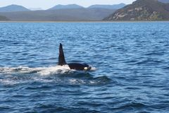 View of killer whale above water near Kamchatka Peninsula, Russia. The killer whale or orca Orcinus orca is a toothed whale belonging to the oceanic dolphin royalty free stock photo