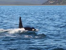 View of killer whale above water near Kamchatka Peninsula, Russia. royalty free stock images