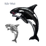 Killer whale or orca sea animal isolated sketch. Killer whale sea animal isolated sketch. Orca or toothed whale symbol, marine predator leaping out of water with Stock Photo