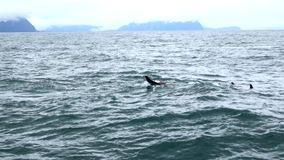 Killer Whale or Orca Whales in Alaska stock footage