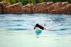 Killer whale (Orcinus orca) Royalty Free Stock Photography