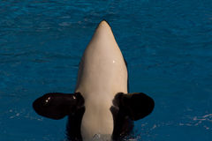 Orca (Orcinus orca) Stock Photography