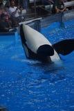 Killer Whale - Orcinus orca Stock Photo