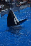 Killer Whale - Orcinus orca Stock Image