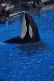 Killer Whale - Orcinus orca Royalty Free Stock Photography