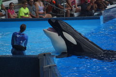 Killer Whale - Orcinus orca Stock Images