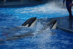 Killer Whale - Orcinus orca Royalty Free Stock Images