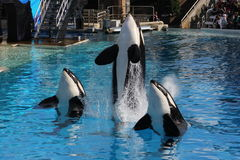 Killer Whale (Orcinus orca) Royalty Free Stock Image