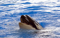 A killer whale, Orcinus Orca, looking out of the w Stock Image