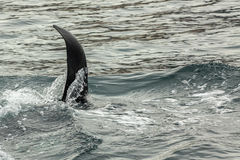 Killer Whale - Orcinus Orca in Pacific Ocean. Water area near Kamchatka Peninsula. Stock Images