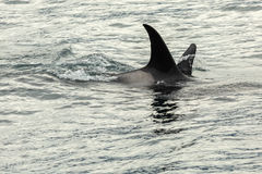 Killer Whale - Orcinus Orca in Pacific Ocean. Water area near Kamchatka Peninsula. Stock Image