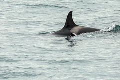 Killer Whale - Orcinus Orca in Pacific Ocean. Water area near Kamchatka Peninsula. Royalty Free Stock Photo