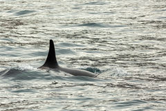 Killer Whale - Orcinus Orca in Pacific Ocean. Water area near Kamchatka Peninsula. Stock Photo