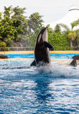 Killer Whale Out of Water Stock Image