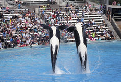 A Killer Whale Pair in an Oceanarium Show Royalty Free Stock Photos