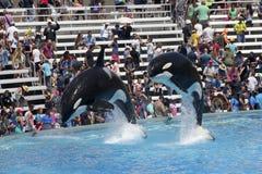 A Killer Whale Pair in an Oceanarium Show Stock Image