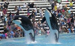 A Killer Whale Pair in an Oceanarium Show Royalty Free Stock Photo