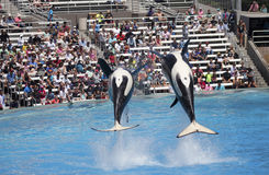 A Killer Whale Pair in an Oceanarium Show Royalty Free Stock Photography