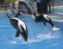 A Killer Whale Pair Perform in an Oceanarium Show Stock Photography