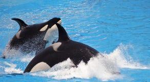 A Killer Whale Pair Porpoise Through Blue Water Royalty Free Stock Photo
