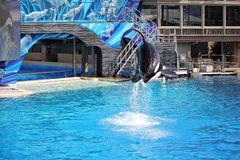 Killer Whales perform during the Shamu Show at Sea World in San Diego. Killer whale perform during the Shamu Show at Sea World in San Diego royalty free stock photos