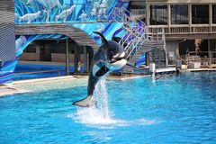 Killer Whales perform during the Shamu Show at Sea World in San Diego royalty free stock photography