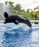 Killer Whale Pirouette. Killer whale performing a pirouette during a water show Royalty Free Stock Photo