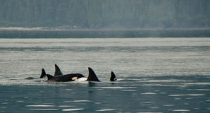 Killer Whale Pod Stock Image