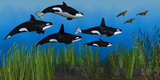 Killer Whale Pod Royalty Free Stock Image