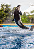 Killer Whale Rising Stock Images