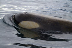 Killer whale's head next to a passing Stock Image
