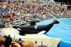 Killer whale in San Diego SeaWorld Royalty Free Stock Photography
