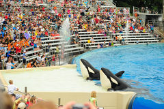 Killer whale in San Diego SeaWorld Stock Photography