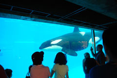 Killer whale in San Diego SeaWorld Royalty Free Stock Photos