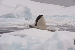 Killer whale with seal. Killer whale spy hanting  for Crabeater seal in Antarctica Royalty Free Stock Photography