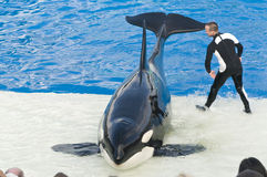 Killer whale at Seaworld. Picture of killer whale at sea world that can be used for tourism and press releases Royalty Free Stock Photography