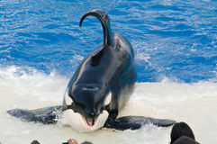 Killer whale at Seaworld royalty free stock image