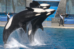 Killer whale at Seaworld stock photography