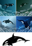 Killer whale set. Set of killer whales including five images - isolated killer whale in black and white and killer whales against different colour sea background Stock Images