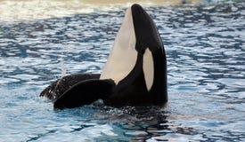 Killer Whale. Shamu killer whale in Sea World California royalty free stock photography