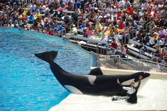 Killer whale shamu show in seaworld san diego Stock Photos