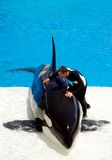 Killer whale shamu show in seaworld san diego Stock Photography